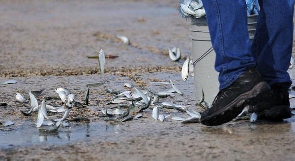 Sri-Lanka-Rainfall-of-Small-Fish