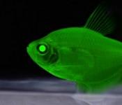 glowing fish genetic engineer 175x150