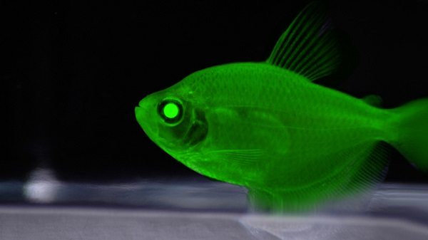 glowing fish genetic engineer
