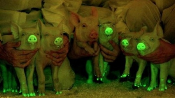 glowing pigs