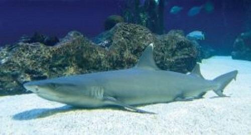 lazy shark