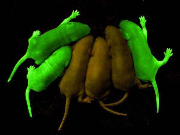 rats mice glowing dark
