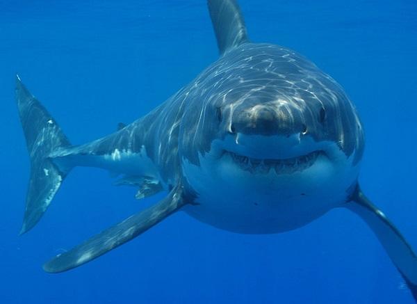 shark australia divers