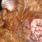 ugliest-bat-ever