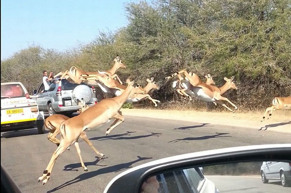 Cheetahs Chase An Impala Into A Car Full Of Tourists