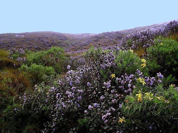 Kurinji rare bloom