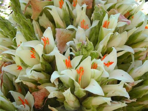 Puya Raimondi flowers
