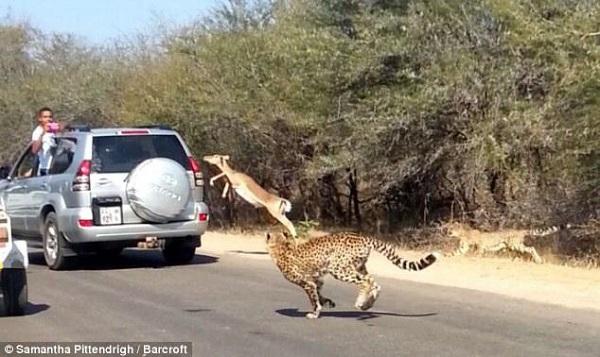 cheetah chases impala antelope tourists car safari