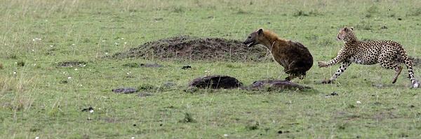 cheetah hyena fight