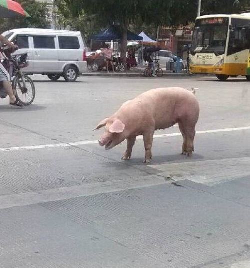 free pig in the sreet