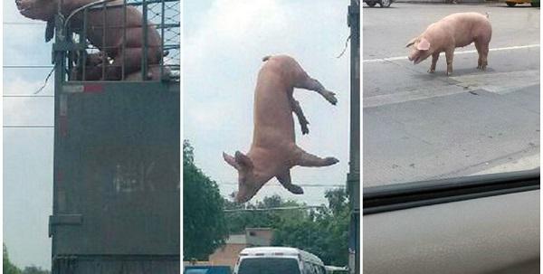 pig escape slaughterhouse