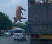 pig-escapes-slaughterhouse
