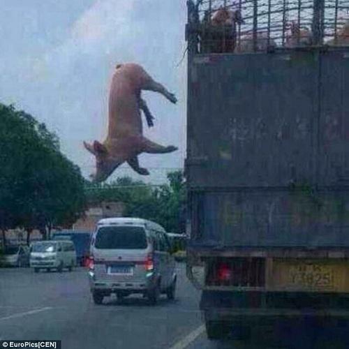 pig escapes slaughterhouse