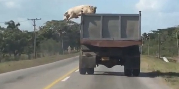pig jumps off truck