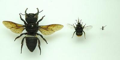 Megachile Pluto bigbumblebee bee