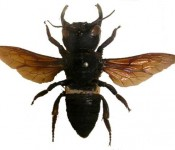 Megachile-pluto-largest-bee-earth