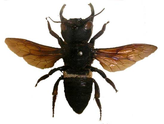 Megachile pluto largest bee earth