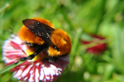 bombus-bumblebee