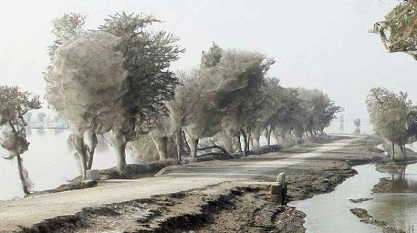 pakistan trees webs