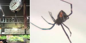 a97193 g129 6 spider grape 300x153