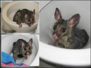 a98968 found in toilet 7 possum 300x226