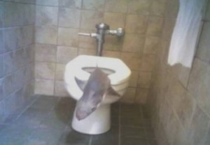 a98968 found in toilet 8 shark 300x207