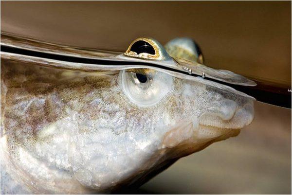 Four Eyed Fish 600x401