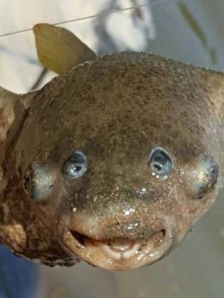 Puffer Fish 450x600