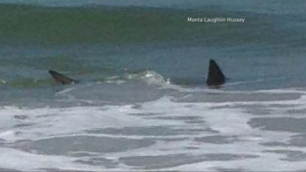 North Carolina Divers Are Targeted by Several Shark Attacks people swimming with sharks around them 600x338