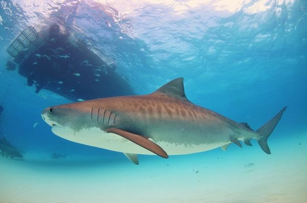 The Death of an Austrian Man Sparks the Underwater Safety Debate eople swimming with sharks around them 600x398