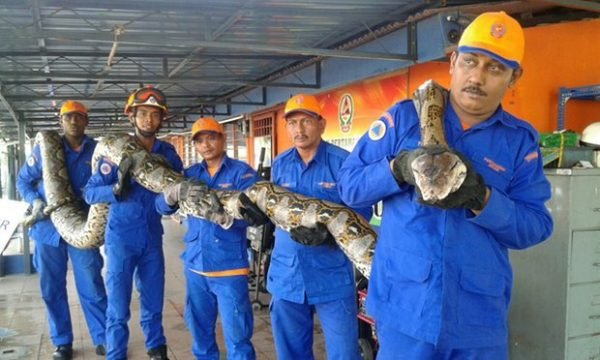 longest python ever recorded 600x360