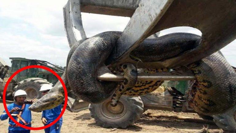 worlds biggest anaconda captured in brazil 770x433