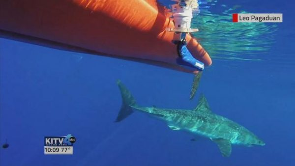 Fisherman Encounters Great White in West Maui 600x338