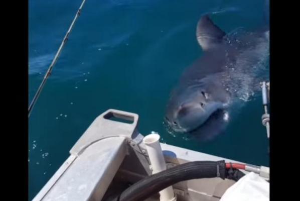 New Zealand fisherman trembling during great white shark encounter