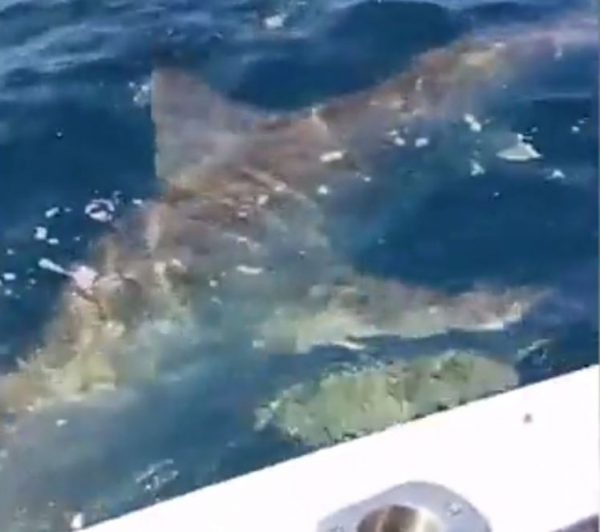 adon encountered a Great White 600x532