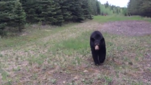 black bear chasing joggers in Canada 600x338