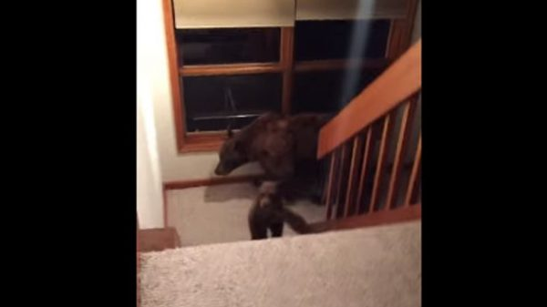 couple chased by 3 bears in their house 600x337