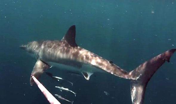 great white shark encounter fisherman