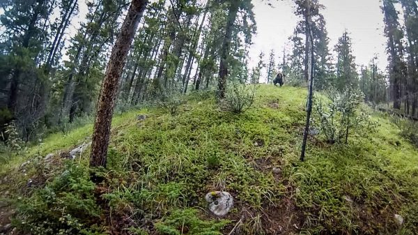 grizzly bear chase cyclist in alberta 600x337
