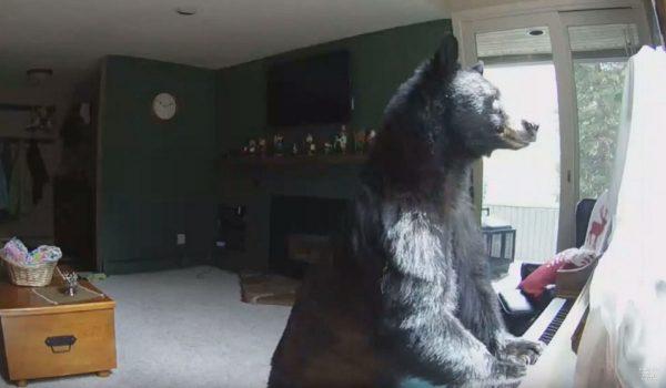 bear breaks into home play piano 600x350
