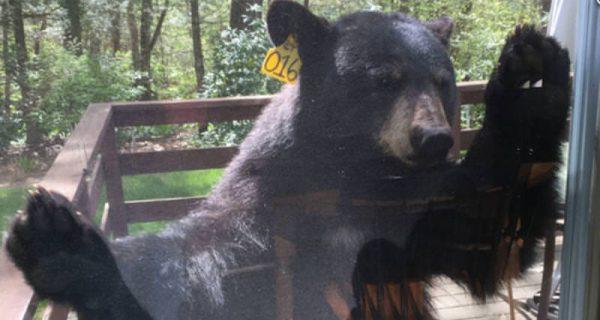 bear knocks for brownies 600x320