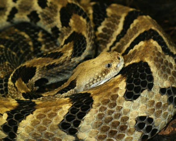 Pit Viper Is Considered To Be One Of The Most Beautiful Snakes