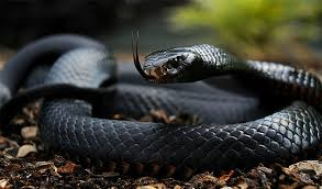 Black Mamba looks like a real treasure